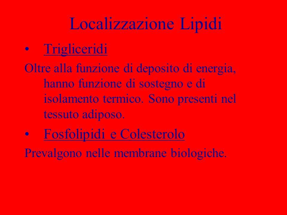 Localizzazione Lipidi Trigliceridi Oltre alla funzione di deposito di energia, hanno funzione di sostegno e di isolamento termico. Sono presenti nel t