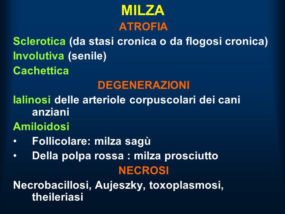 MILZA ATROFIA Sclerotica (da stasi cronica o da flogosi cronica) Involutiva (senile) Cachettica DEGENERAZIONI Ialinosi delle arteriole corpuscolari dei cani anziani Amiloidosi Follicolare: milza sagù Della polpa rossa : milza prosciutto NECROSI Necrobacillosi, Aujeszky, toxoplasmosi, theileriasi