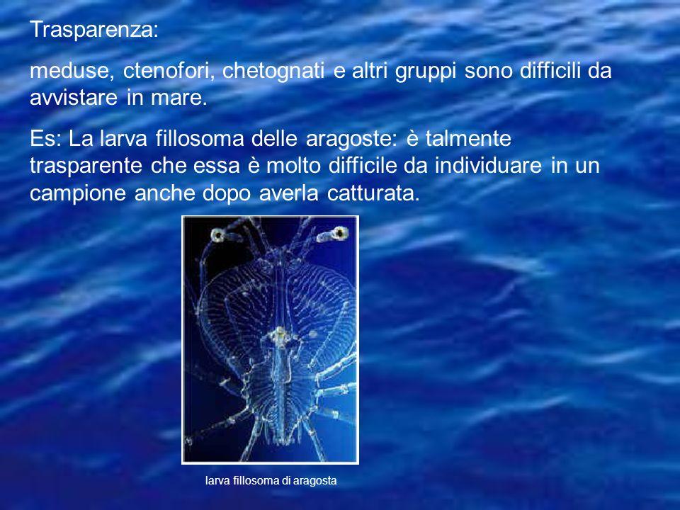 Trasparenza: meduse, ctenofori, chetognati e altri gruppi sono difficili da avvistare in mare. Es: La larva fillosoma delle aragoste: è talmente trasp
