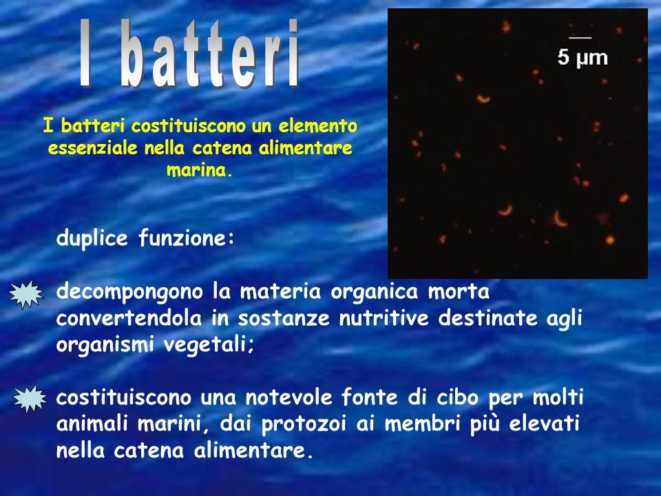 I batteri costituiscono un elemento essenziale nella catena alimentare marina. duplice funzione: decompongono la materia organica morta convertendola