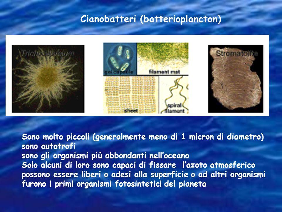 Cianobatteri (batterioplancton) Sono molto piccoli (generalmente meno di 1 micron di diametro) sono autotrofi sono gli organismi più abbondanti nelloc