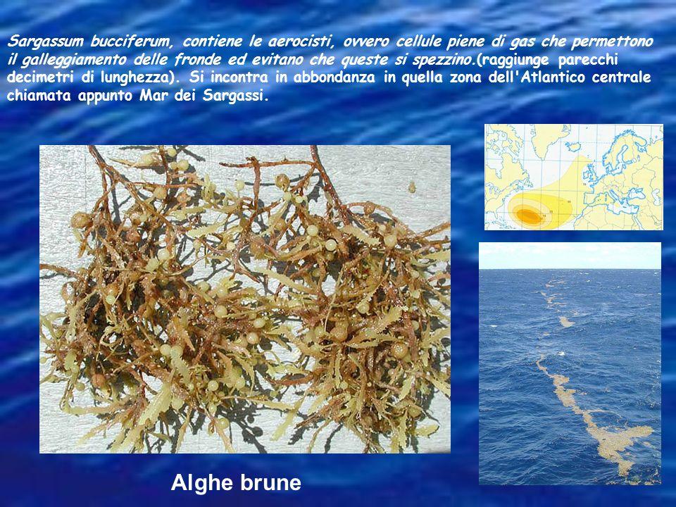 Sargassum bucciferum, contiene le aerocisti, ovvero cellule piene di gas che permettono il galleggiamento delle fronde ed evitano che queste si spezzi