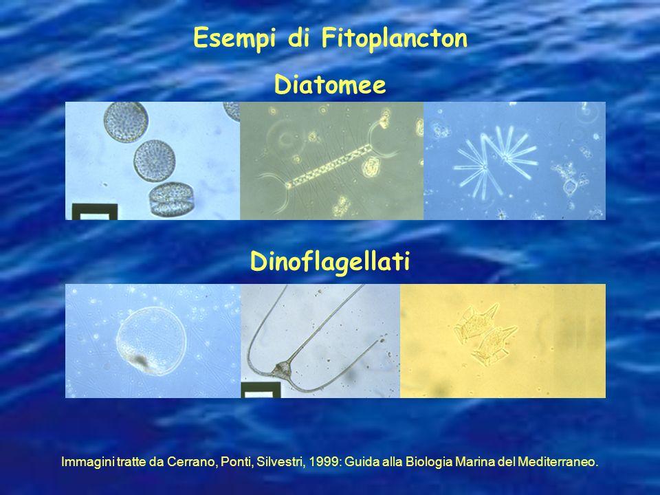 Diatomee Dinoflagellati Immagini tratte da Cerrano, Ponti, Silvestri, 1999: Guida alla Biologia Marina del Mediterraneo. Esempi di Fitoplancton