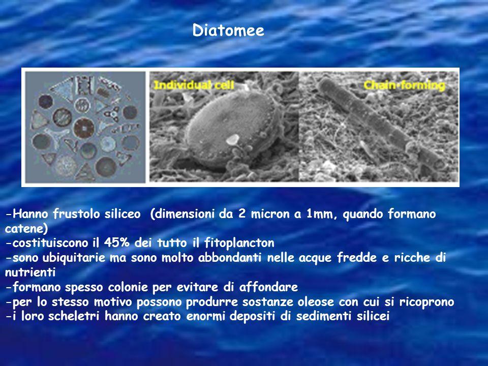 Diatomee -Hanno frustolo siliceo (dimensioni da 2 micron a 1mm, quando formano catene) -costituiscono il 45% dei tutto il fitoplancton -sono ubiquitar