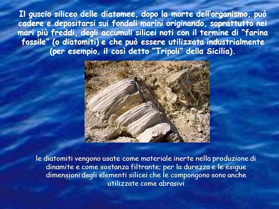 Il guscio siliceo delle diatomee, dopo la morte dellorganismo, può cadere e depositarsi sui fondali marini originando, soprattutto nei mari più freddi