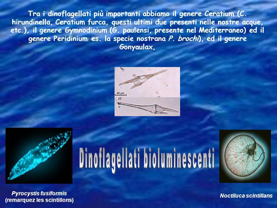 Pyrocystis fusiformis (remarquez les scintillons) Noctiluca scintillans Tra i dinoflagellati più importanti abbiamo il genere Ceratium (C. hirundinell