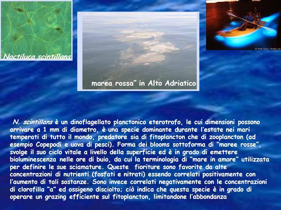 Noctiluca scintillans N. scintillans è un dinoflagellato planctonico eterotrofo, le cui dimensioni possono arrivare a 1 mm di diametro, è una specie d