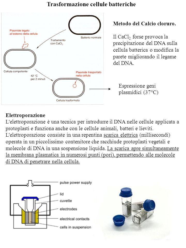 Trasformazione cellule batteriche Metodo del Calcio cloruro. Il CaCl 2 forse provoca la precipitazione del DNA sulla cellula batterica o modifica la p