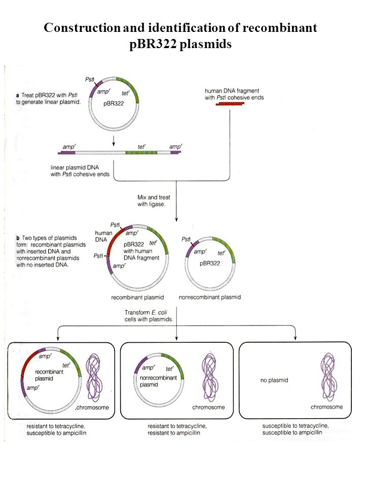 Construction and identification of recombinant pBR322 plasmids