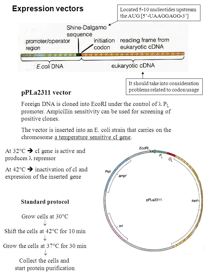 Expression vectors pPLa2311 vector Foreign DNA is cloned into EcoRI under the control of P L promoter. Ampicillin sensitivity can be used for screenin