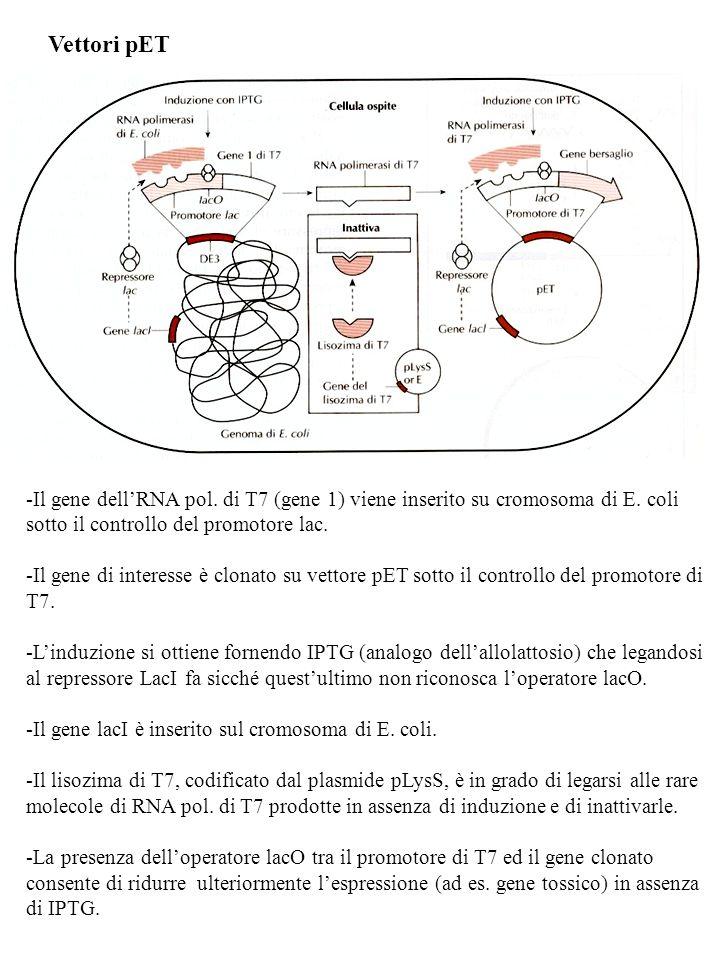Vettori pET -Il gene dellRNA pol. di T7 (gene 1) viene inserito su cromosoma di E. coli sotto il controllo del promotore lac. -Il gene di interesse è