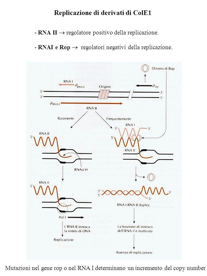 Replicazione di derivati di ColE1 - RNA II regolatore positivo della replicazione. - RNAI e Rop regolatori negativi della replicazione. Mutazioni nel