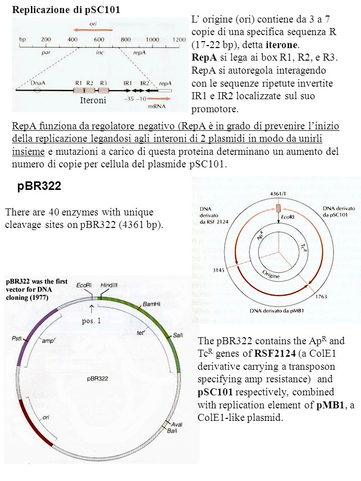 pBR322 The pBR322 contains the Ap R and Tc R genes of RSF2124 (a ColE1 derivative carrying a transposon specifying amp resistance) and pSC101 respecti