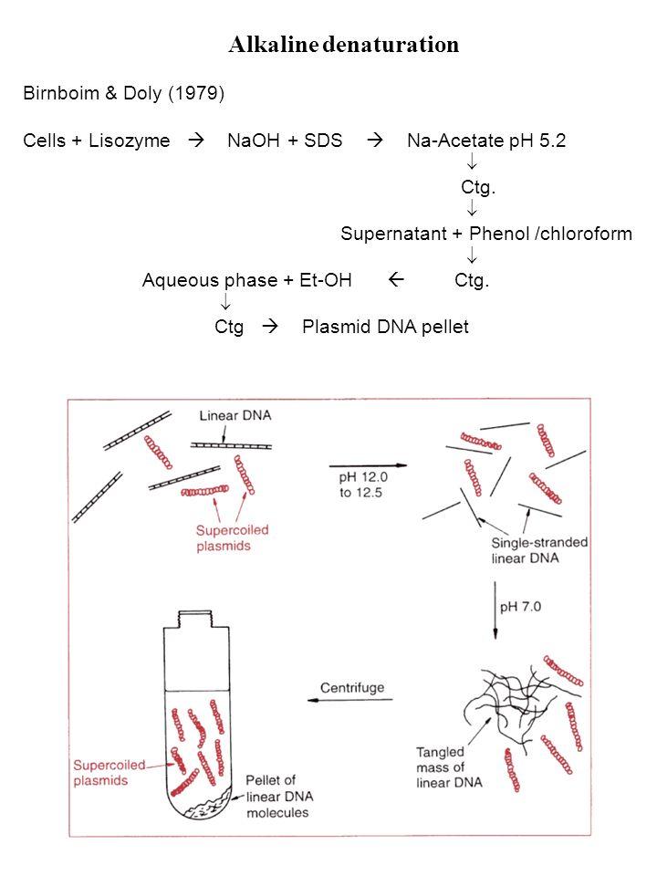 Alkaline denaturation Birnboim & Doly (1979) Cells + Lisozyme NaOH + SDS Na-Acetate pH 5.2 Ctg. Supernatant + Phenol /chloroform Aqueous phase + Et-OH