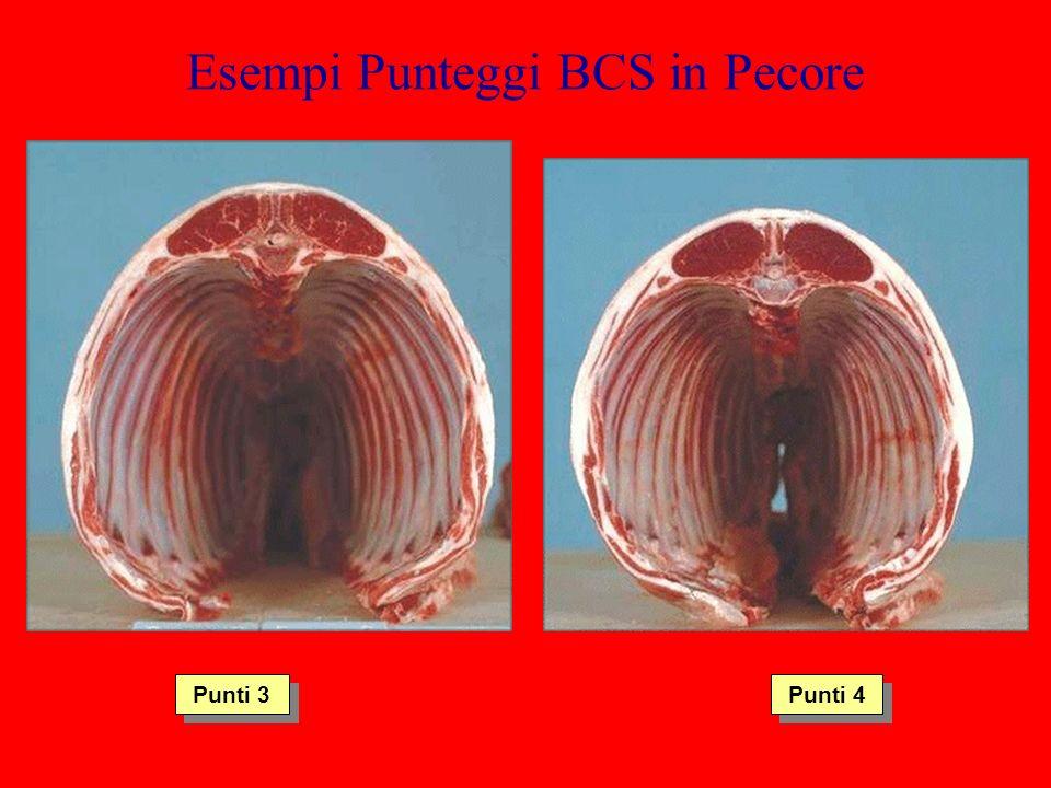 Esempi Punteggi BCS in Pecore Punti 3 Punti 4