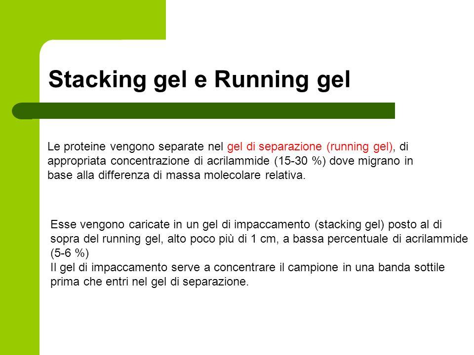 Stacking gel e Running gel Le proteine vengono separate nel gel di separazione (running gel), di appropriata concentrazione di acrilammide (15-30 %) d