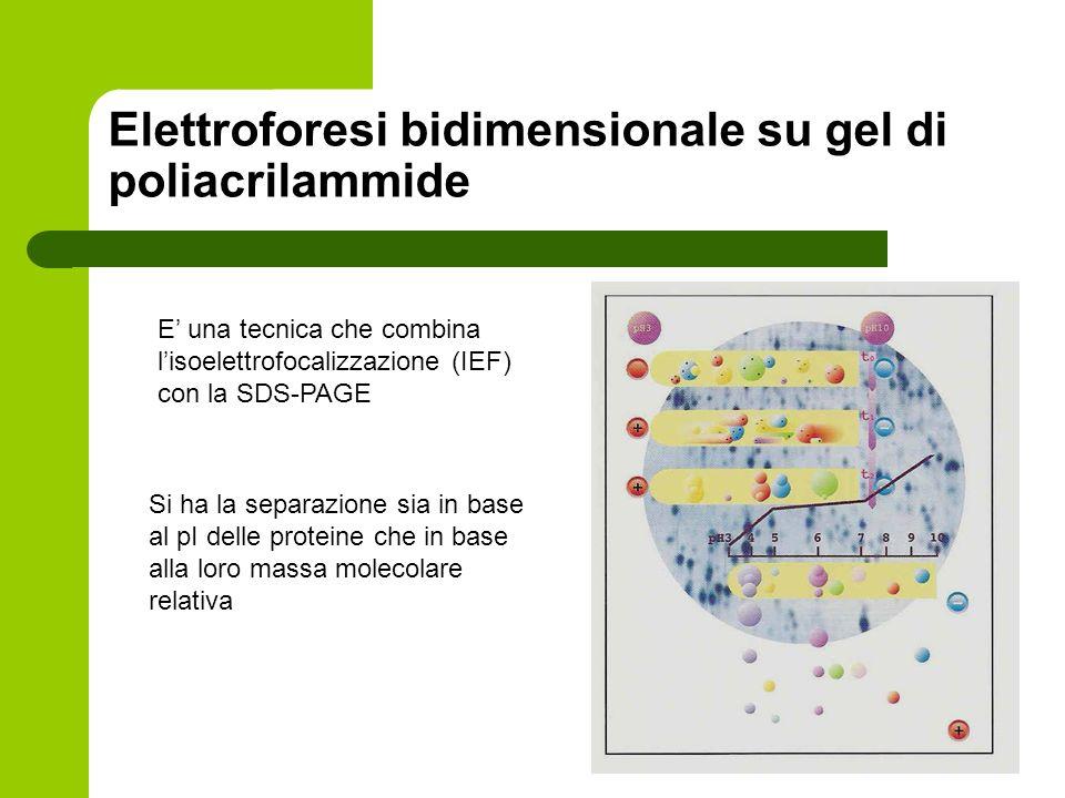 Elettroforesi bidimensionale su gel di poliacrilammide E una tecnica che combina lisoelettrofocalizzazione (IEF) con la SDS-PAGE Si ha la separazione
