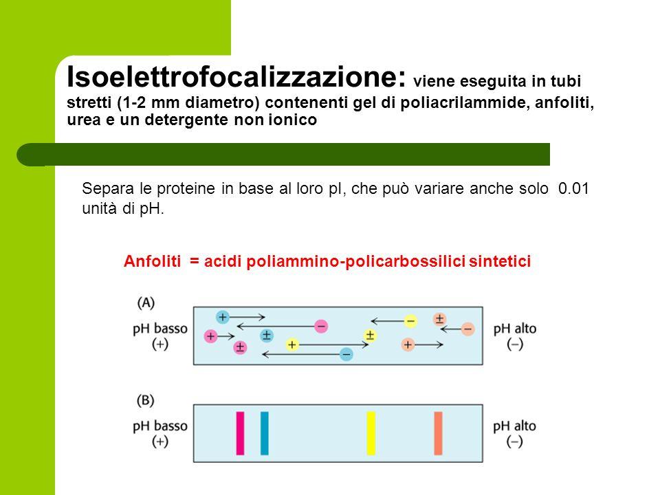 Isoelettrofocalizzazione: viene eseguita in tubi stretti (1-2 mm diametro) contenenti gel di poliacrilammide, anfoliti, urea e un detergente non ionic