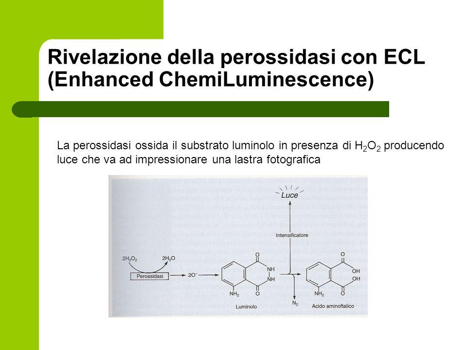Rivelazione della perossidasi con ECL (Enhanced ChemiLuminescence) La perossidasi ossida il substrato luminolo in presenza di H 2 O 2 producendo luce