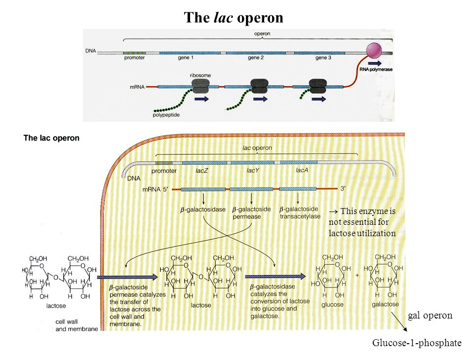 Glucose-1-phosphate gal operon The lac operon This enzyme is not essential for lactose utilization