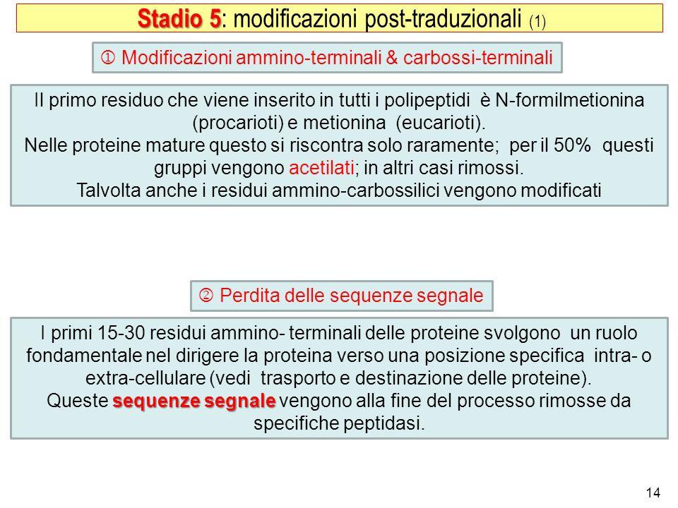 14 Stadio 5 Stadio 5 : modificazioni post-traduzionali (1) Modificazioni ammino-terminali & carbossi-terminali Perdita delle sequenze segnale Il primo