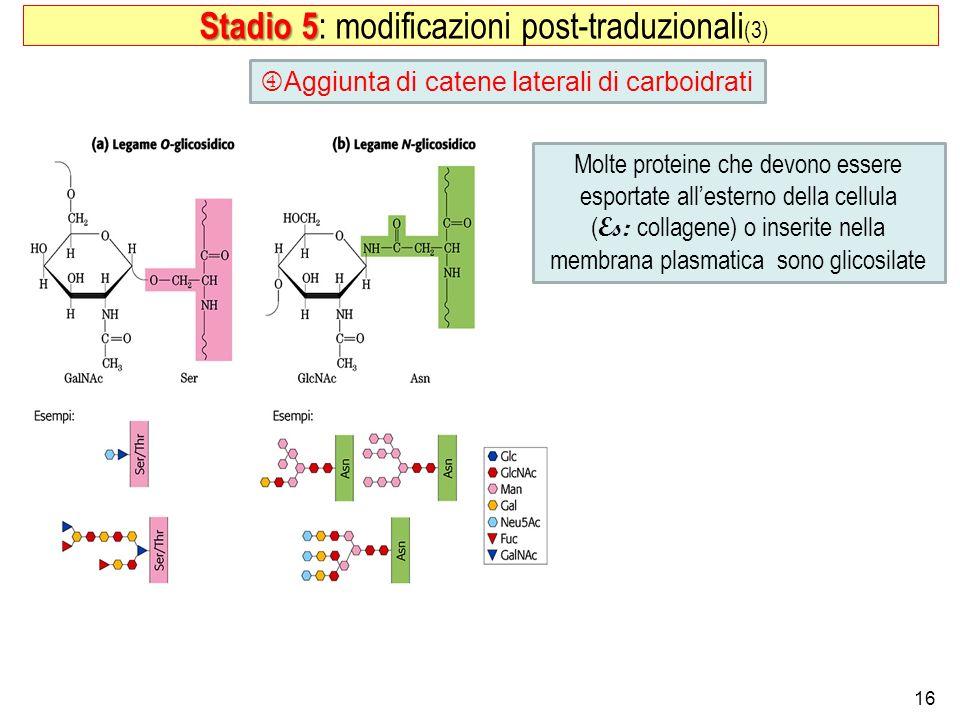 16 Aggiunta di catene laterali di carboidrati Stadio 5 Stadio 5 : modificazioni post-traduzionali (3) Molte proteine che devono essere esportate alles