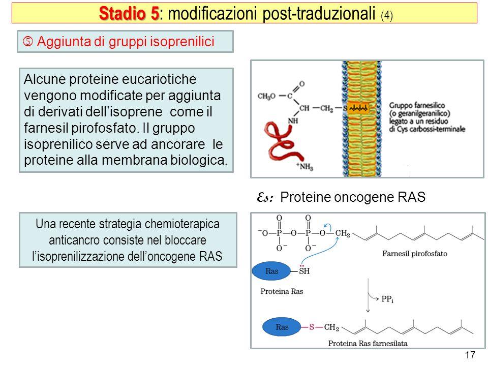 17 Aggiunta di gruppi isoprenilici Stadio 5 Stadio 5 : modificazioni post-traduzionali (4) Alcune proteine eucariotiche vengono modificate per aggiunt