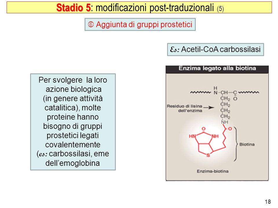 18 Aggiunta di gruppi prostetici Stadio 5 Stadio 5 : modificazioni post-traduzionali (5) Per svolgere la loro azione biologica (in genere attività cat