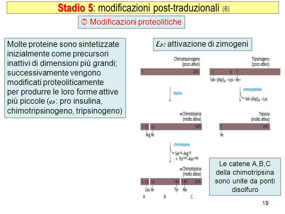 19 Modificazioni proteolitiche Stadio 5 Stadio 5 : modificazioni post-traduzionali (6) Es: attivazione di zimogeni Le catene A,B,C della chimotripsina