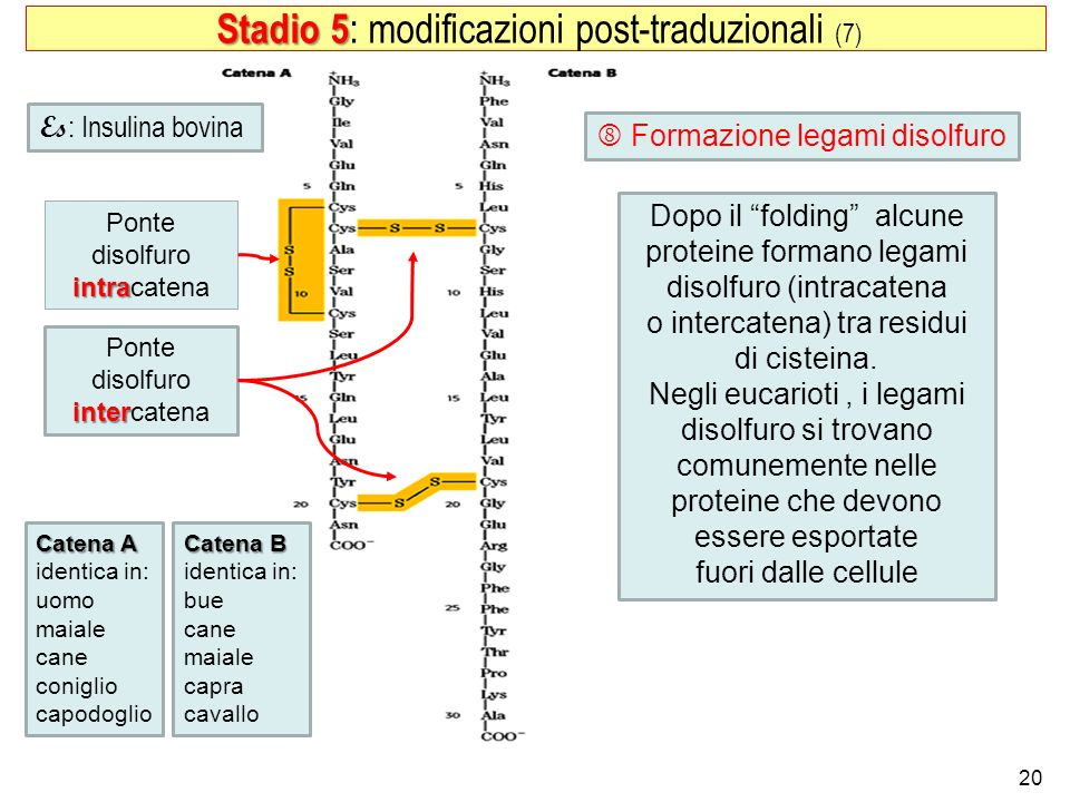 20 Stadio 5 Stadio 5 : modificazioni post-traduzionali (7) Ponte disolfuro intra intracatena Ponte disolfuro inter intercatena Catena A identica in: u