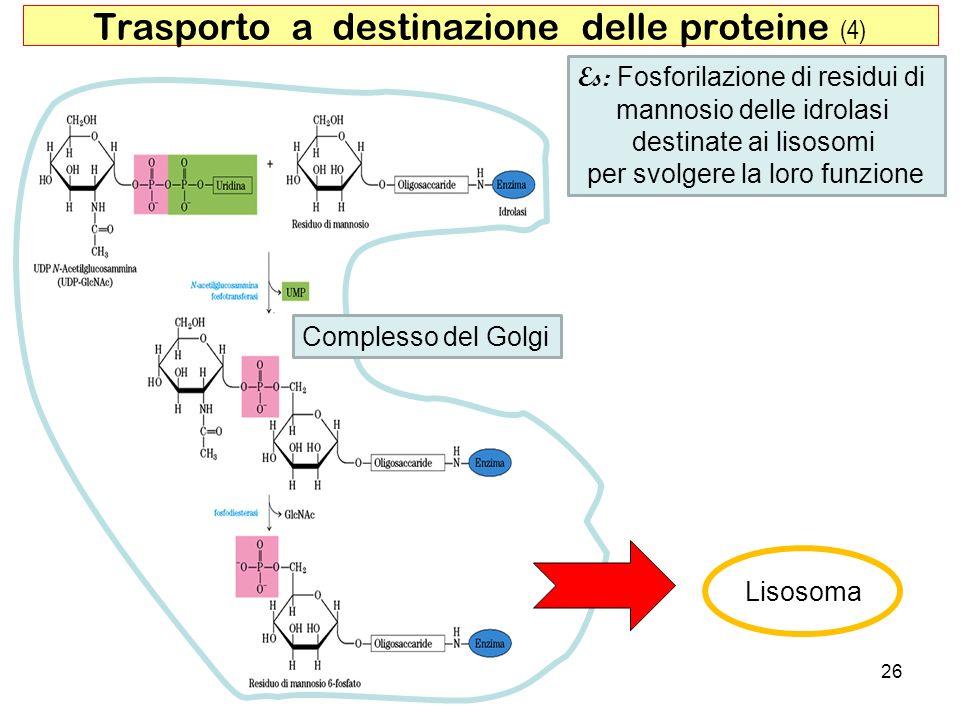 26 Trasporto a destinazione delle proteine (4) Es: Fosforilazione di residui di mannosio delle idrolasi destinate ai lisosomi per svolgere la loro fun