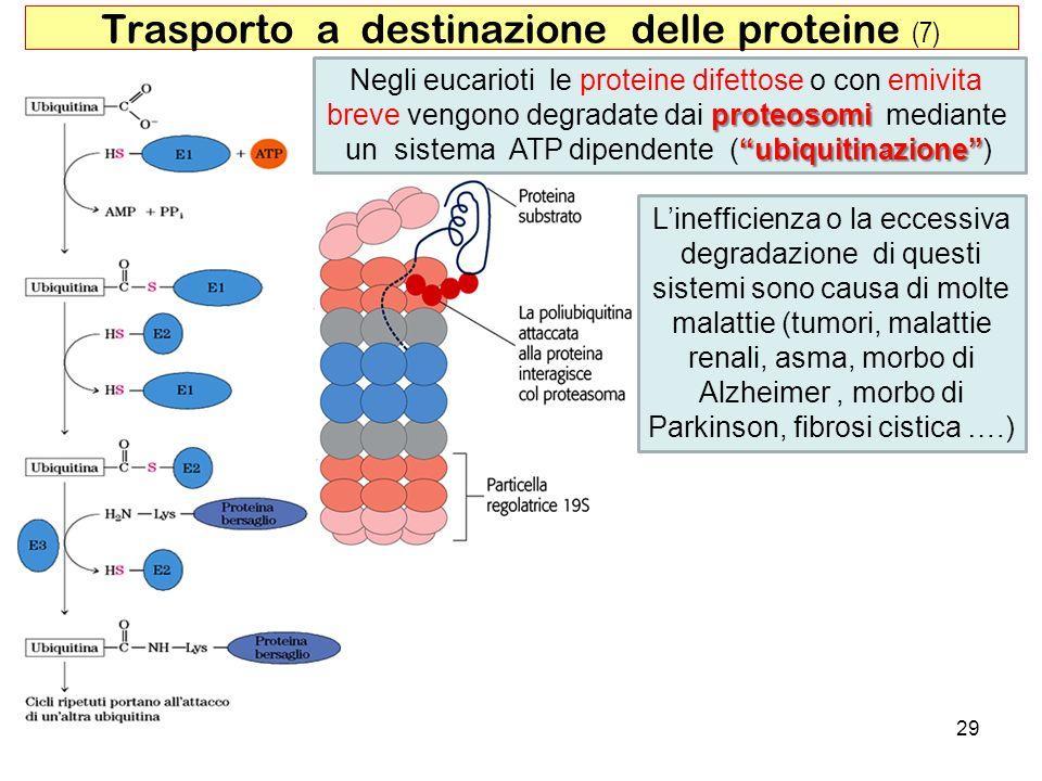 29 Trasporto a destinazione delle proteine (7) Negli eucarioti le proteine difettose o con emivita proteosomi breve vengono degradate dai proteosomi m