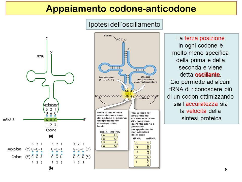 6 Appaiamento codone-anticodone Ipotesi delloscillamento La terza posizione in ogni codone è molto meno specifica della prima e della seconda e viene