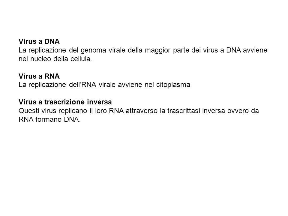Virus a DNA La replicazione del genoma virale della maggior parte dei virus a DNA avviene nel nucleo della cellula. Virus a RNA La replicazione dellRN