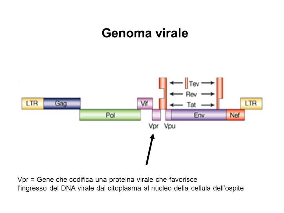 Vpr = Gene che codifica una proteina virale che favorisce lingresso del DNA virale dal citoplasma al nucleo della cellula dellospite Genoma virale