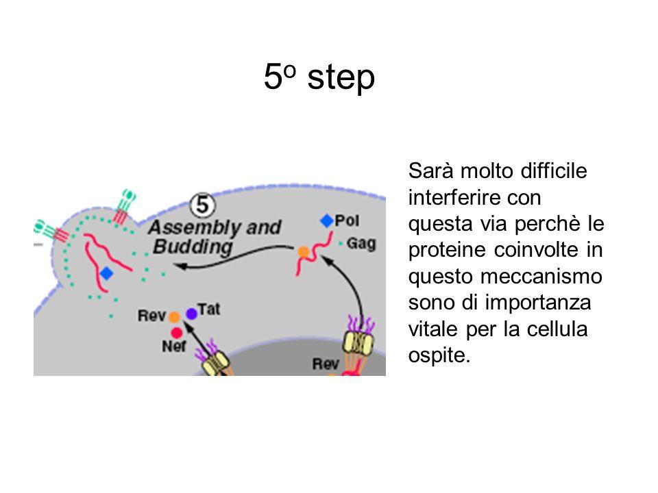 5 o step Sarà molto difficile interferire con questa via perchè le proteine coinvolte in questo meccanismo sono di importanza vitale per la cellula os