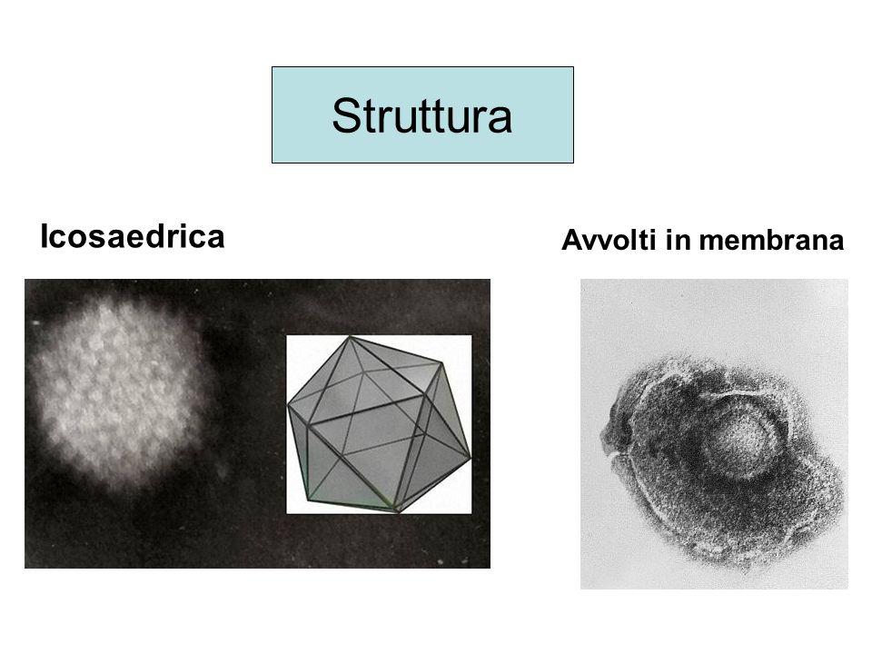 Icosaedrica Avvolti in membrana