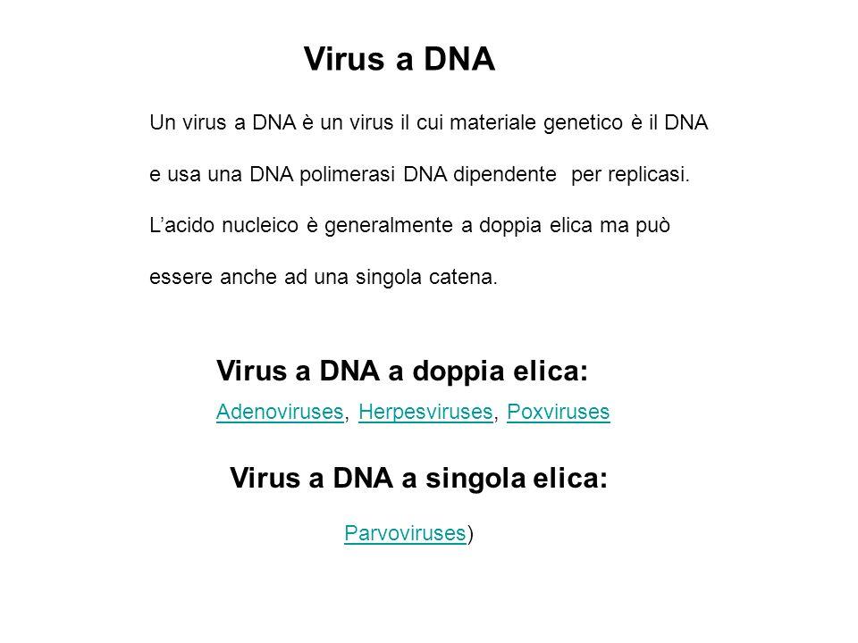 Virus a DNA Un virus a DNA è un virus il cui materiale genetico è il DNA e usa una DNA polimerasi DNA dipendente per replicasi. Lacido nucleico è gene