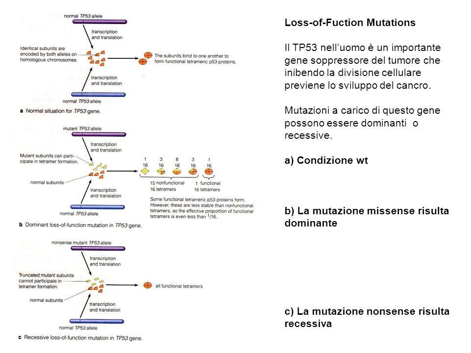 Loss-of-Fuction Mutations Il TP53 nelluomo è un importante gene soppressore del tumore che inibendo la divisione cellulare previene lo sviluppo del ca