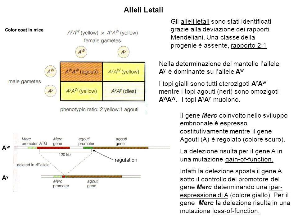 Alleli Letali Nella determinazione del mantello lallele A y è dominante su lallele A w I topi gialli sono tutti eterozigoti A Y A w mentre i topi agouti (neri) sono omozigoti A W A W.