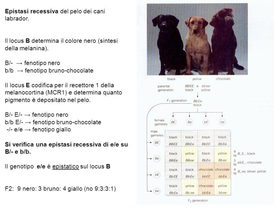 Epistasi recessiva del pelo dei cani labrador. ll locus B determina il colore nero (sintesi della melanina). B/- fenotipo nero b/b fenotipo bruno-choc