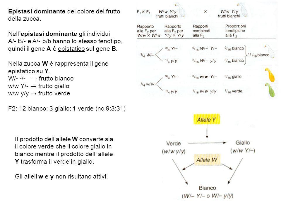 Epistasi dominante del colore del frutto della zucca. Nellepistasi dominante gli individui A/- B/- e A/- b/b hanno lo stesso fenotipo, quindi il gene