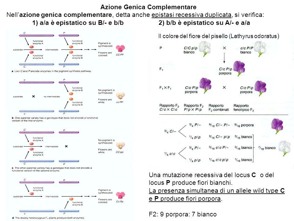 Azione Genica Complementare Nellazione genica complementare, detta anche epistasi recessiva duplicata, si verifica: 1) a/a è epistatico su B/- e b/b 2) b/b è epistatico su A/- e a/a Il colore del fiore del pisello (Lathyrus odoratus ) Una mutazione recessiva del locus C o del locus P produce fiori bianchi.