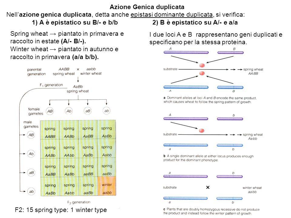 Azione Genica duplicata Nellazione genica duplicata, detta anche epistasi dominante duplicata, si verifica: 1) A è epistatico su B/- e b/b 2) B è epistatico su A/- e a/a Spring wheat piantato in primavera e raccolto in estate (A/- B/-).