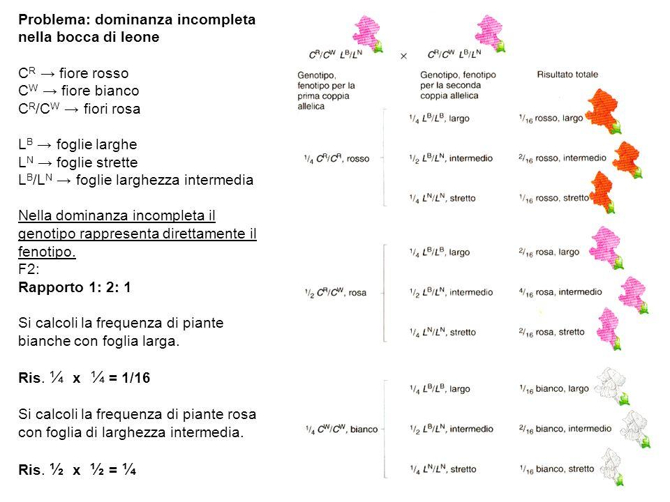 Problema: dominanza incompleta nella bocca di leone C R fiore rosso C W fiore bianco C R /C W fiori rosa L B foglie larghe L N foglie strette L B /L N foglie larghezza intermedia Nella dominanza incompleta il genotipo rappresenta direttamente il fenotipo.