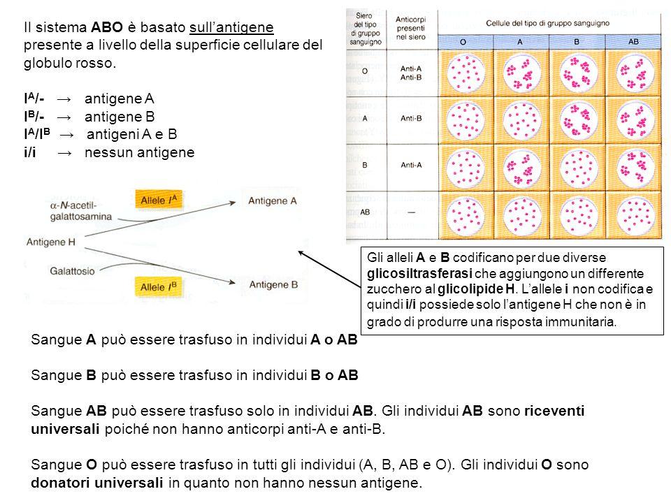 Il sistema ABO è basato sullantigene presente a livello della superficie cellulare del globulo rosso. I A /- antigene A I B /- antigene B I A /I B ant
