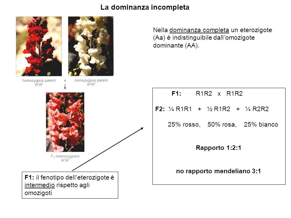 La dominanza incompleta F1: R1R2 x R1R2 F2: ¼ R1R1 + ½ R1R2 + ¼ R2R2 25% rosso, 50% rosa, 25% bianco Rapporto 1:2:1 no rapporto mendeliano 3:1 F1: il fenotipo delleterozigote è intermedio rispetto agli omozigoti Nella dominanza completa un eterozigote (Aa) è indistinguibile dallomozigote dominante (AA).