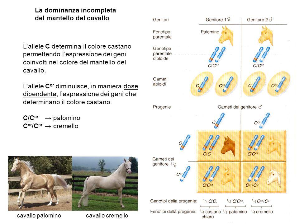 La dominanza incompleta del mantello del cavallo cavallo palomino cavallo cremello Lallele C determina il colore castano permettendo lespressione dei geni coinvolti nel colore del mantello del cavallo.
