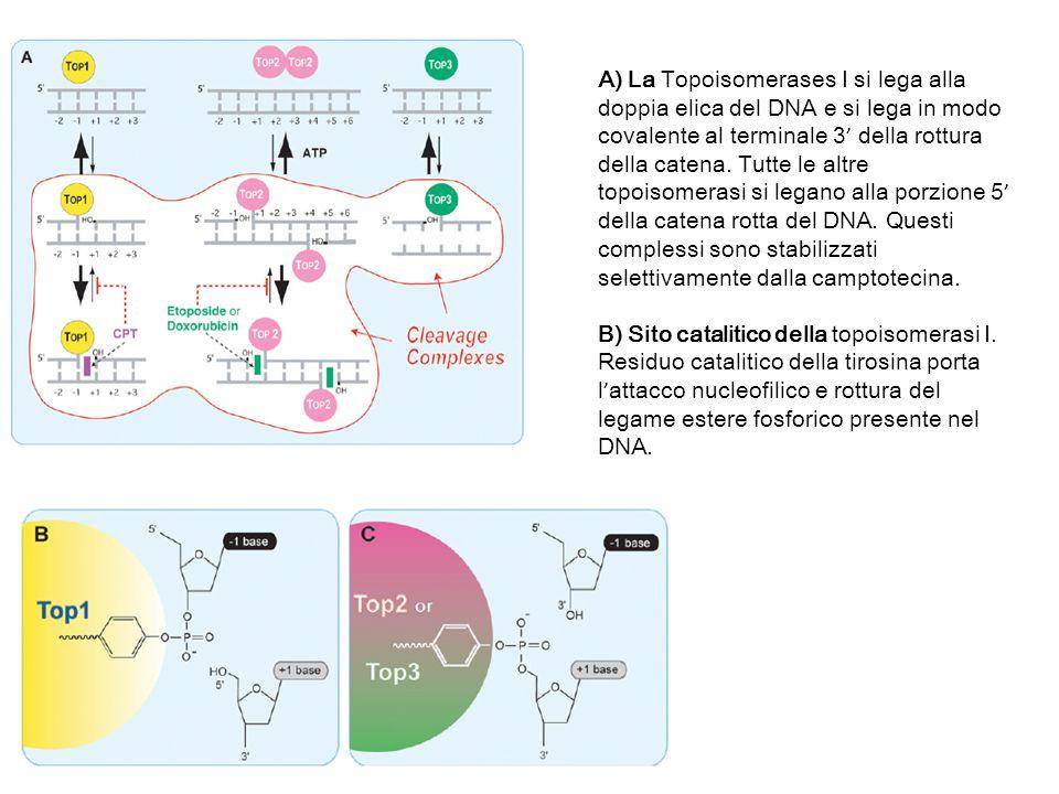 A) La Topoisomerases I si lega alla doppia elica del DNA e si lega in modo covalente al terminale 3 della rottura della catena. Tutte le altre topoiso