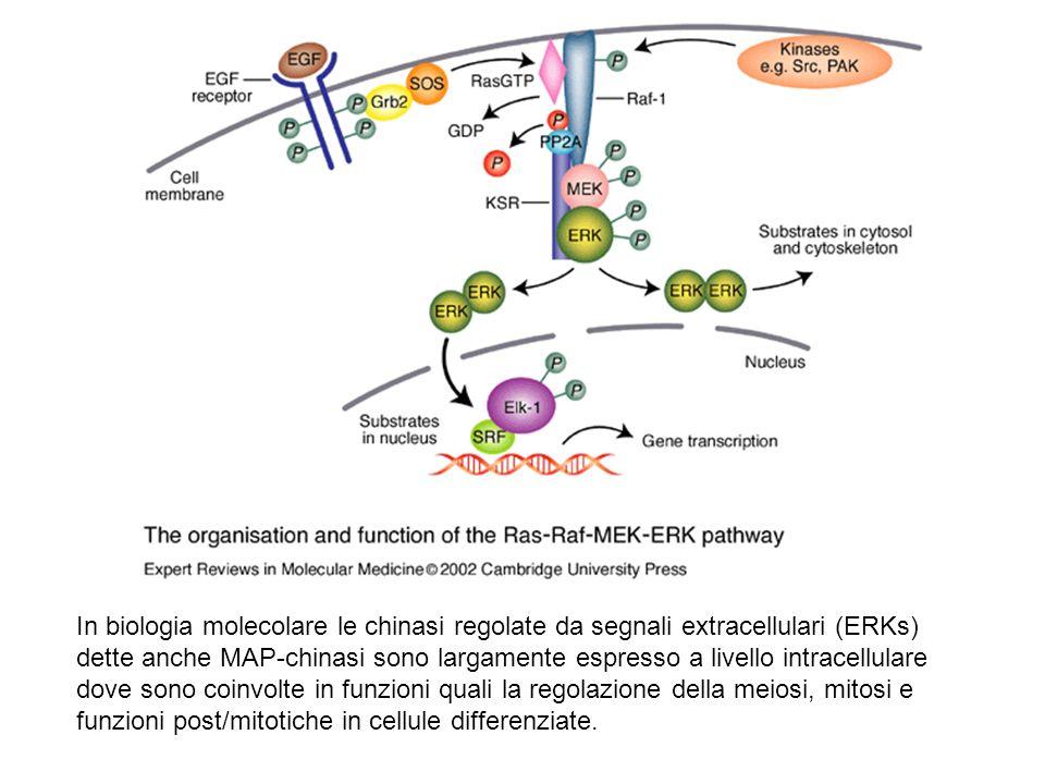 In biologia molecolare le chinasi regolate da segnali extracellulari (ERKs) dette anche MAP-chinasi sono largamente espresso a livello intracellulare